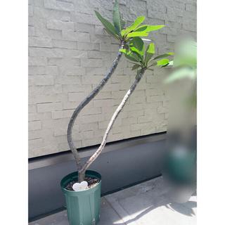 プルメリア 二又苗 大苗 Plumeria  ③(その他)