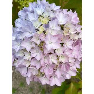 レインボー紫陽花【刺し穂2本】限定一名様◆紫陽花肥料付き(その他)