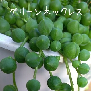 増量中!多肉植物【グリーンネックレス】カット苗(その他)