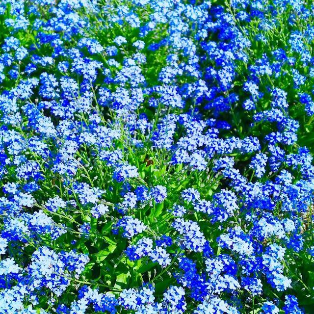 【園芸で大人気!】忘れな草☆勿忘草 種 200粒以上! ハンドメイドのフラワー/ガーデン(プランター)の商品写真