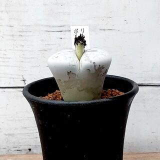 多肉植物 リトープス ボルキー(その他)