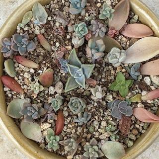 多肉植物 葉挿しセット ラウリンゼやアメジスチム ウサギ系も ランダム(その他)