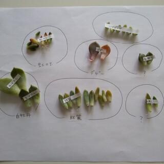 初心者 葉挿し 7種類 34枚 発根済み 発芽済み 育てやすい品種(その他)
