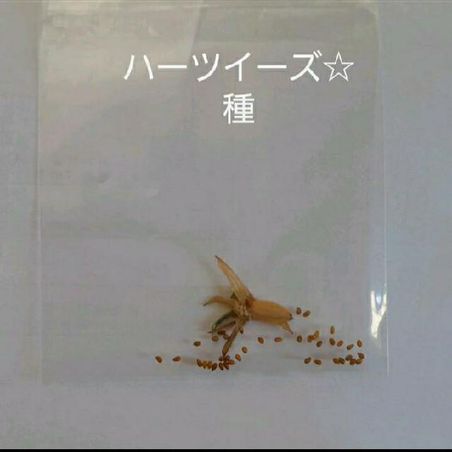 ハーツイーズ☆種 ハンドメイドのフラワー/ガーデン(プランター)の商品写真