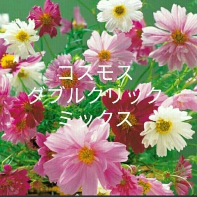 【専用】秋桜  40粒以上  ダブルクリック混合 ハンドメイドのフラワー/ガーデン(プランター)の商品写真