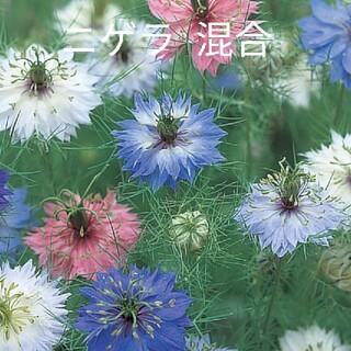 ニゲラ  混合  300粒以上  花種(プランター)