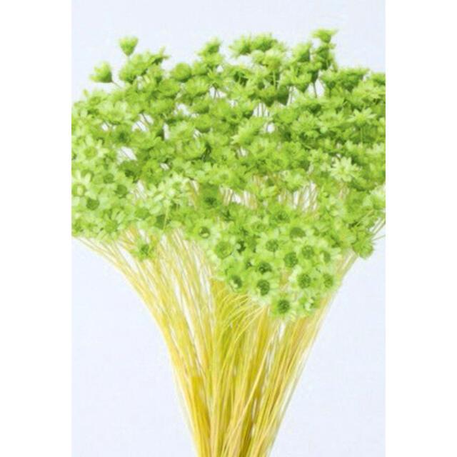スターフラワーミニ<アップルグリーン>100輪 ハンドメイドのフラワー/ガーデン(ドライフラワー)の商品写真