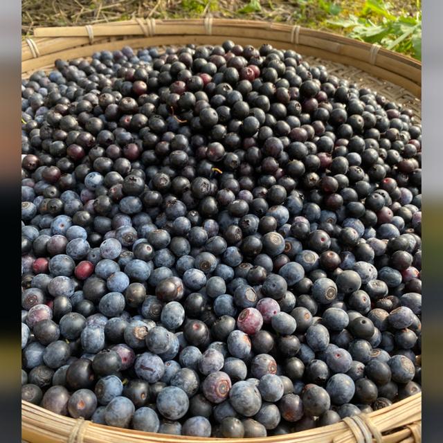 全国配送中今年の冷凍ブルーベリー5kg クール冷凍送料込み 食品/飲料/酒の食品(フルーツ)の商品写真