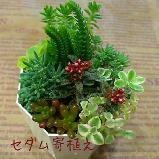 多肉植物【セダム寄植え】カット苗セット(その他)