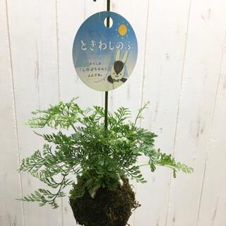 ミニタイプ♪ トキワシノブ 吊り鉢(プランター)