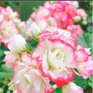 八重咲きアップルブロッサムラスト(プランター)