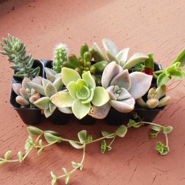 多肉植物おまかせ詰め合わせ ハンドメイドのフラワー/ガーデン(プランター)の商品写真