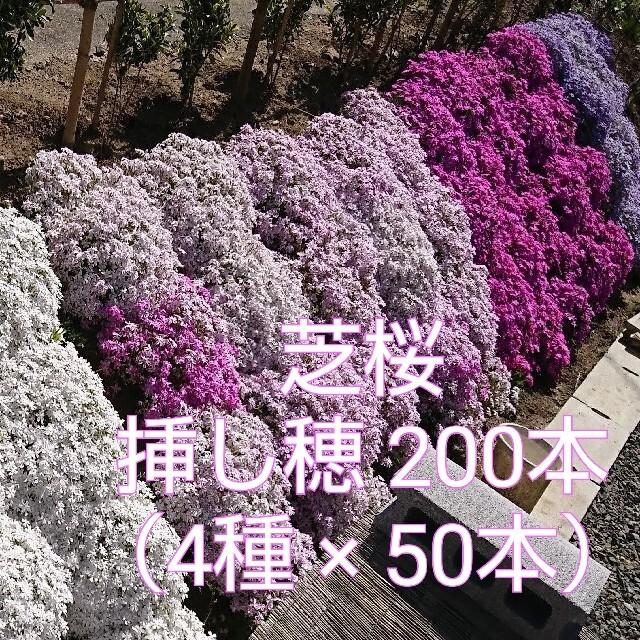 芝桜 挿し穂 200本(4種×50本) ハンドメイドのフラワー/ガーデン(その他)の商品写真