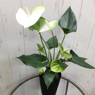 ホワイト×グリーン  アンスリウム 4号鉢(プランター)
