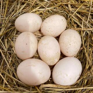 合鴨の卵 6コ 有精卵