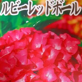 紫陽花  アジサイ  ルビーレッド 2本 (ドライフラワー)