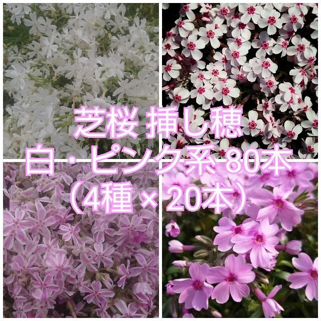 芝桜 挿し穂 白・ピンク系80本(4種×20本) ハンドメイドのフラワー/ガーデン(その他)の商品写真