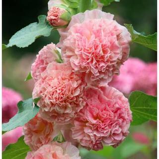 アルセア 薄ピンク 種 20粒(その他)