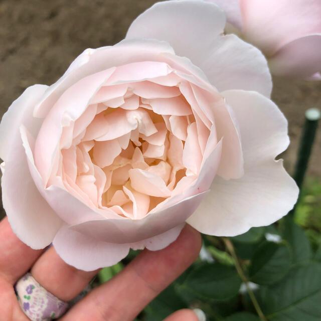 バラ苗 イングリッシュローズ 挿し木苗 ハンドメイドのフラワー/ガーデン(その他)の商品写真