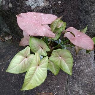 観葉植物 シンゴニウム ピンク 週末お値下げ(プランター)