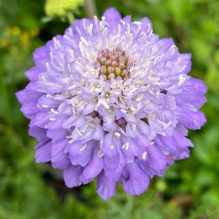 スカビオサ オックスフォードブルー 花の種(その他)