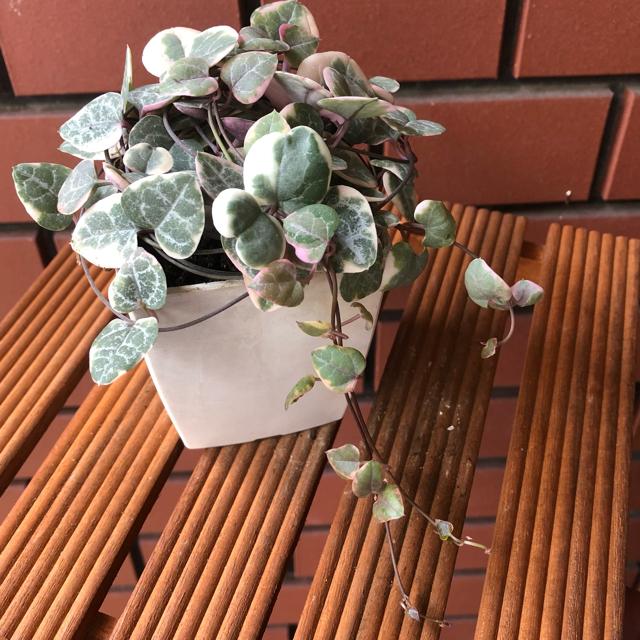*☆。.:*Ceropegia woodii varieg.*☆。.:*  ハンドメイドのフラワー/ガーデン(その他)の商品写真