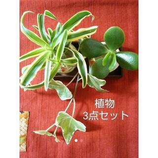 えんぎ良い花言葉の3点セット金のなる木 オリズルラン アイビー 多肉 観葉植物(その他)