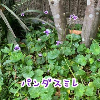 パンダスミレ 植物 抜き苗(その他)