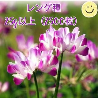 レンゲソウ種25g以上(2500粒)(その他)
