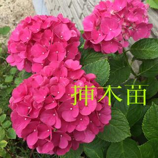 紫陽花 濃いピンク♥︎挿木苗(その他)