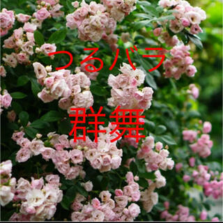 つるバラ 群舞 挿し木苗 根っこ付き ♡ピンクのバラ(その他)