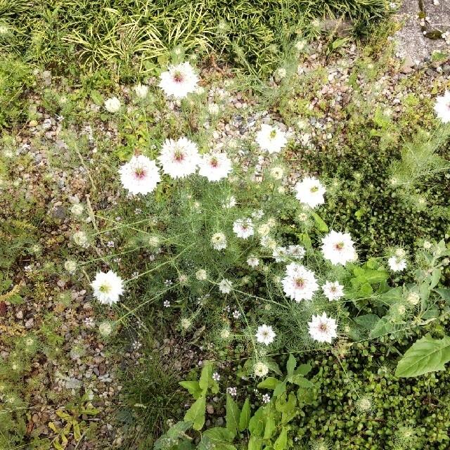 ニゲラ(白)・ブルースター 種 さらに増量中 90粒 ハンドメイドのフラワー/ガーデン(その他)の商品写真