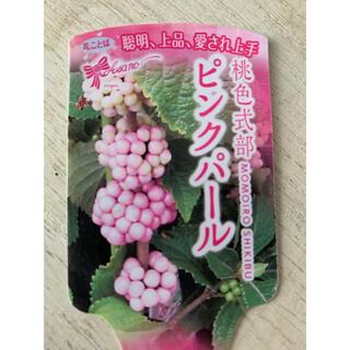 桃色式部 ピンクパール ❁⃘1苗(プランター)