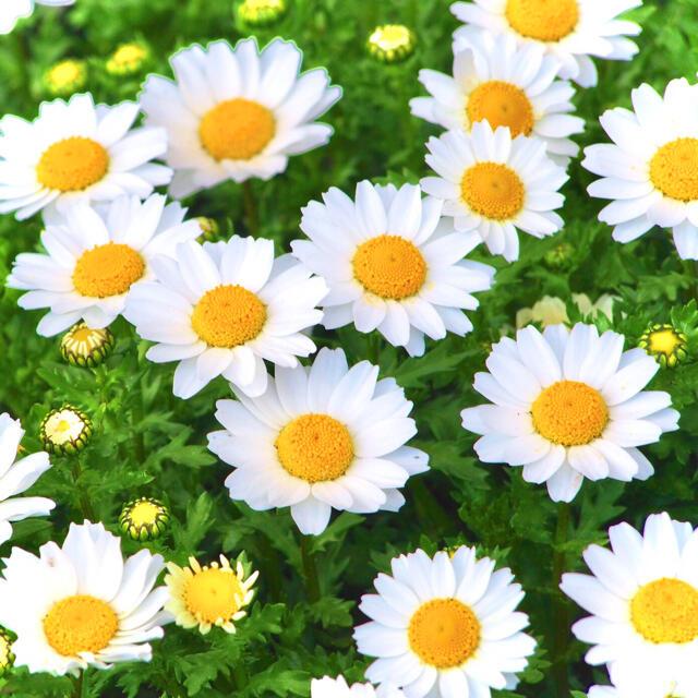 【メインも脇役も!】クリサンセマム☆ノースポール 種 200粒以上! ハンドメイドのフラワー/ガーデン(プランター)の商品写真