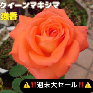 バラ苗 クイーンマキシマ バラ(その他)