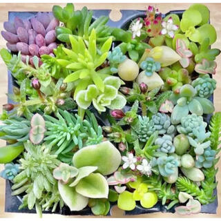 多肉植物 セダム 30種 ローズセダム レア入り.☆.。.:*・(その他)