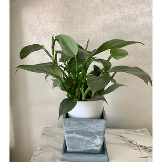 観葉植物 フィロデンドロン シルバーメタル シルバーリーフ(その他)
