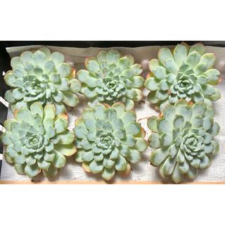 多肉植物 韓国苗 ホワイトミニマ (その他)