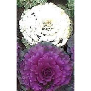 葉牡丹種 白とピンク 30粒 今年取れた種(その他)