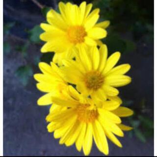 菊の花の苗 三色混ざってます 無農薬 6本根っこ付き 白菊 黄色菊 ピンク菊(野菜)