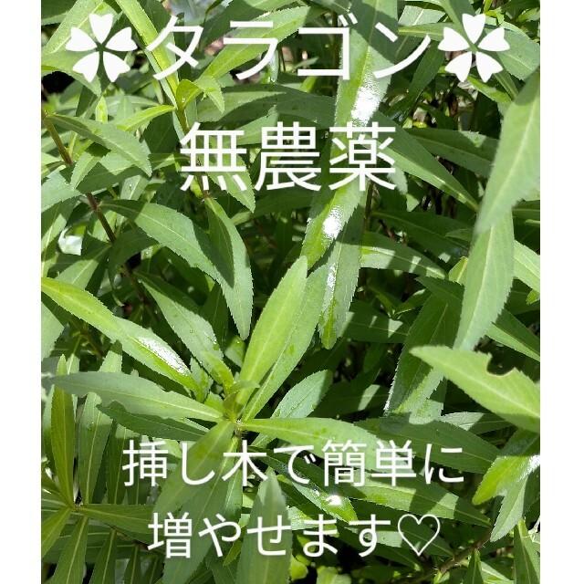 タラゴン カット苗 無農薬☆彡 ハーブ ハンドメイドのフラワー/ガーデン(プランター)の商品写真