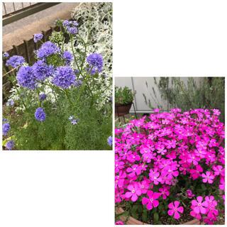 ギリアレプタンサ ピンクパンサー 花の種各100粒(その他)