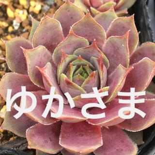 ゆか様専用センペルビウム6種多肉植物(その他)