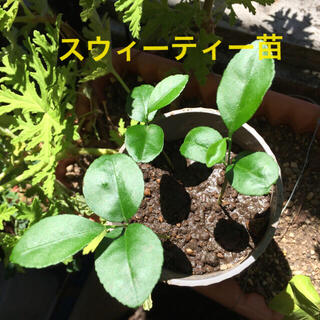 スウィーティー苗 3本  (  柑橘苗  グレープフルーツ×文旦)(野菜)