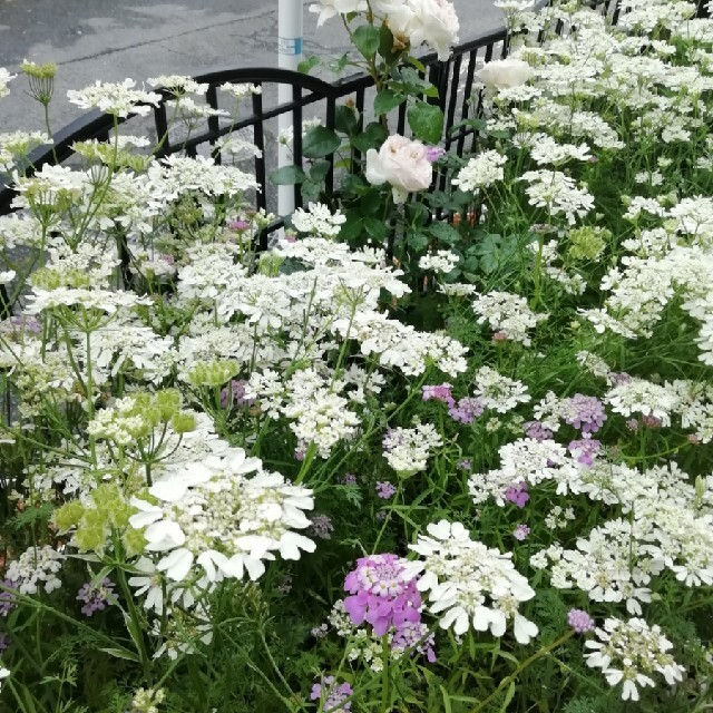 🌺花の種 オルレア ニゲラ イベリスキャンディタフト 桃色タンポポ ハンドメイドのフラワー/ガーデン(プランター)の商品写真