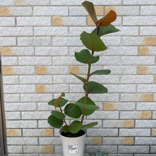 観葉植物 シーグレープ(その他)