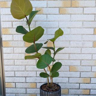 観葉植物 シーグレープ 鉢付(その他)