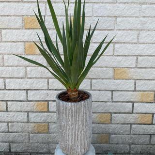 観葉植物 Dracaena draco ドラセナ・ドラコ 竜血樹 5号陶器鉢付(プランター)