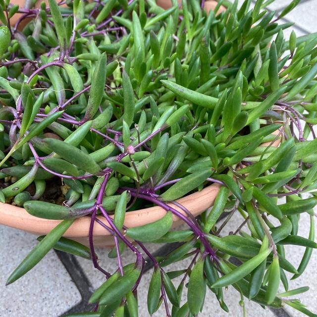 多肉植物✴︎ルビーネックレス 抜き苗 ハンドメイドのフラワー/ガーデン(プランター)の商品写真