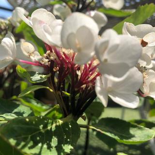 週末お値引き‼️紫陽花 数チョコチックホワイト 挿し穂2本 黒軸 赤茎 希少(その他)